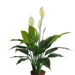 Pianta Spathiphyllum ART. 793/20/33 H 97cm